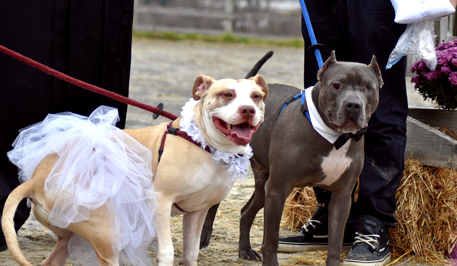 Rescue Dogs Zeus Abbey Marry In Beautiful Pit Bull Wedding Ceremony