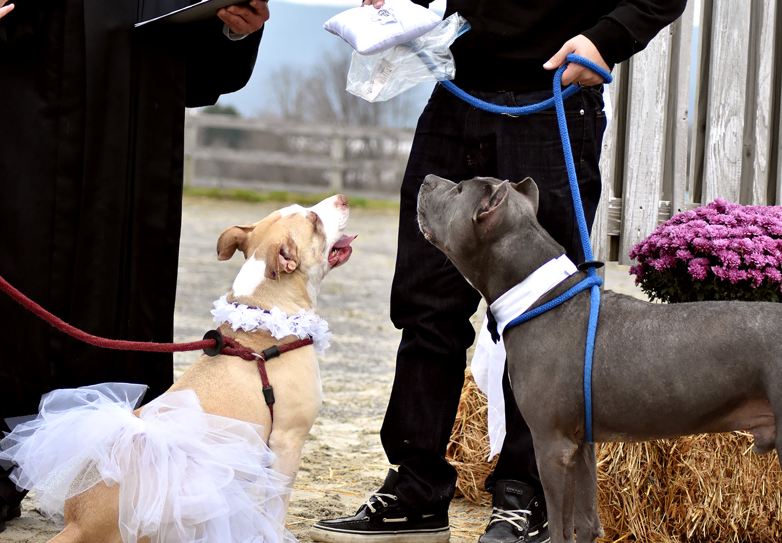 Rescue Pit Bull's Abbey and Zeus get married at Speranza Animal Rescue