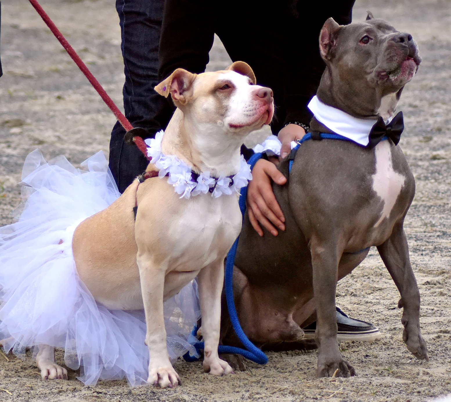 Rescue Pit Bull S Abbey And Zeus Get Married At Speranza Animal