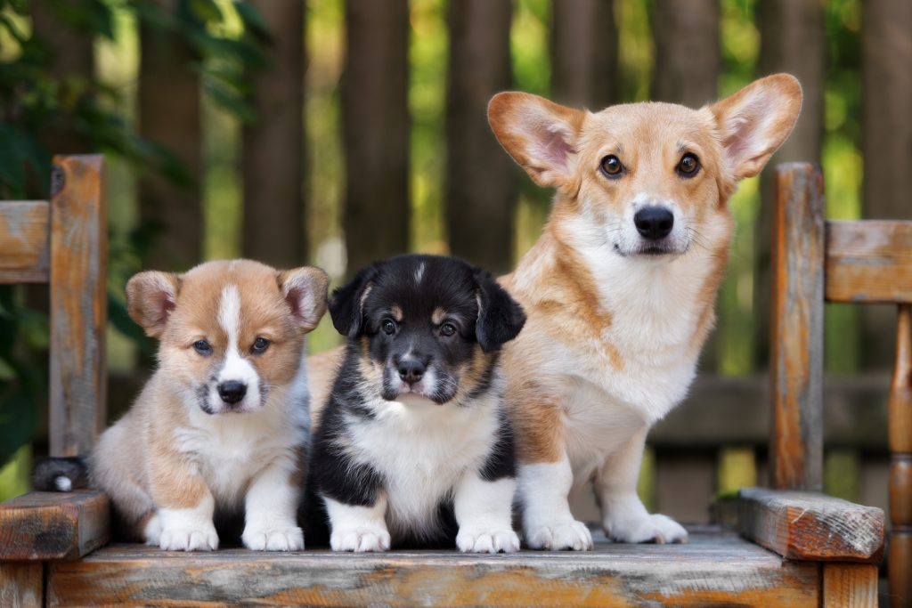 adorable welsh corgi dog and puppies