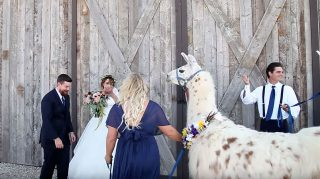 Llama surprise wedding first look