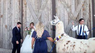 Llama surprise wedding first look