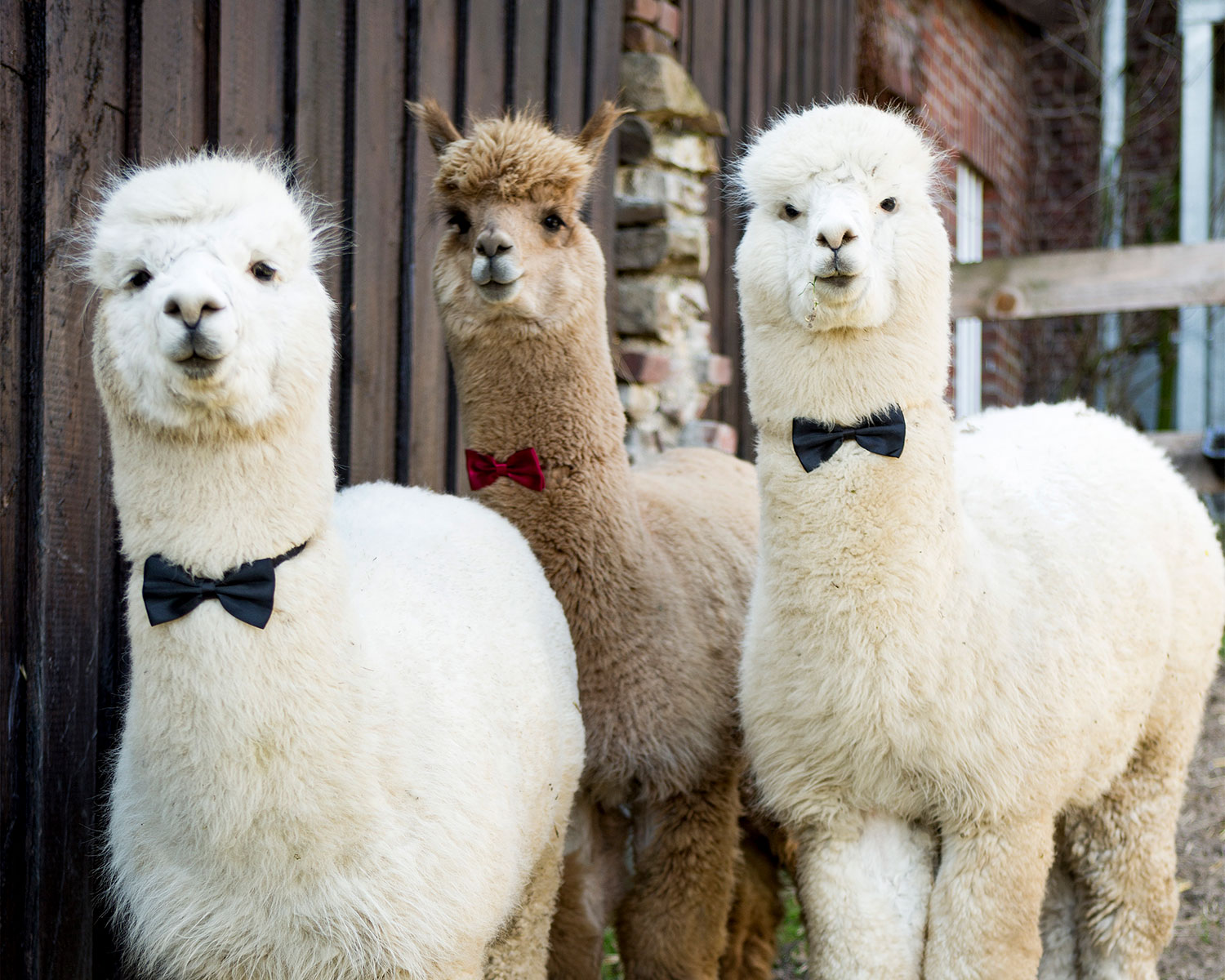alpaca wedding bowtie